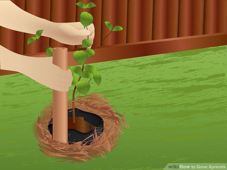 آموزش کاشت زردآلو مرحله 5