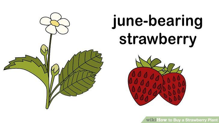 آموزش خرید گیاه توت فرنگی مرحله 1