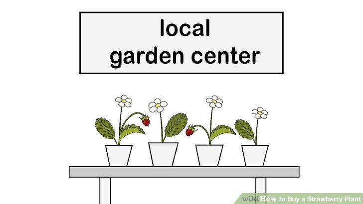 آموزش خرید گیاه توت فرنگی مرحله 11