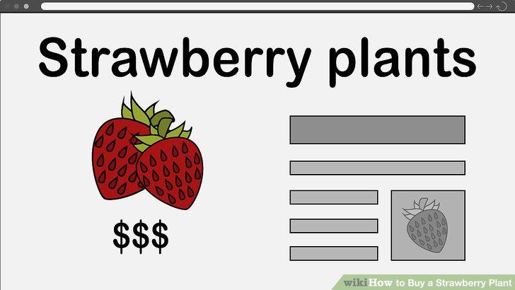آموزش خرید گیاه توت فرنگی مرحله 12
