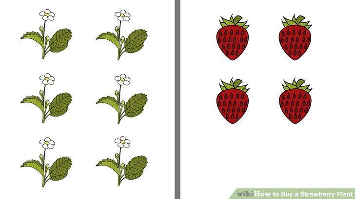 آموزش خرید گیاه توت فرنگی مرحله 13