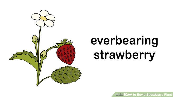 آموزش خرید گیاه توت فرنگی مرحله 2