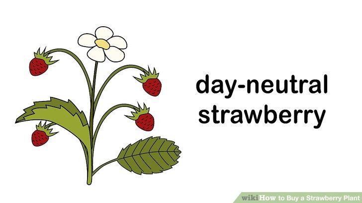 آموزش خرید گیاه توت فرنگی مرحله 3