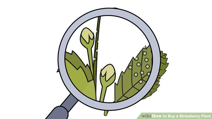 آموزش خرید گیاه توت فرنگی مرحله 7