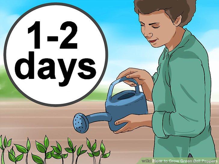 آموزش کاشت فلفل دلمه ای سبز مرحله  10