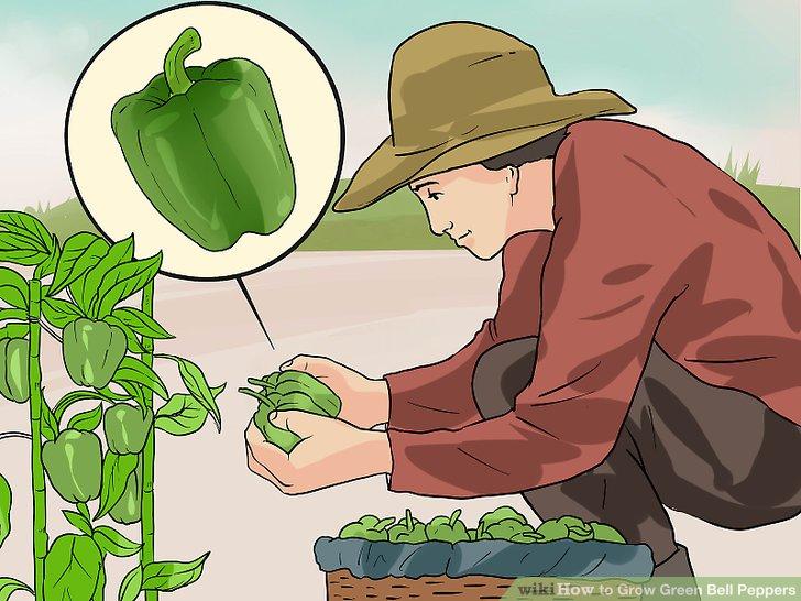 آموزش کاشت فلفل دلمه ای سبز مرحله  13