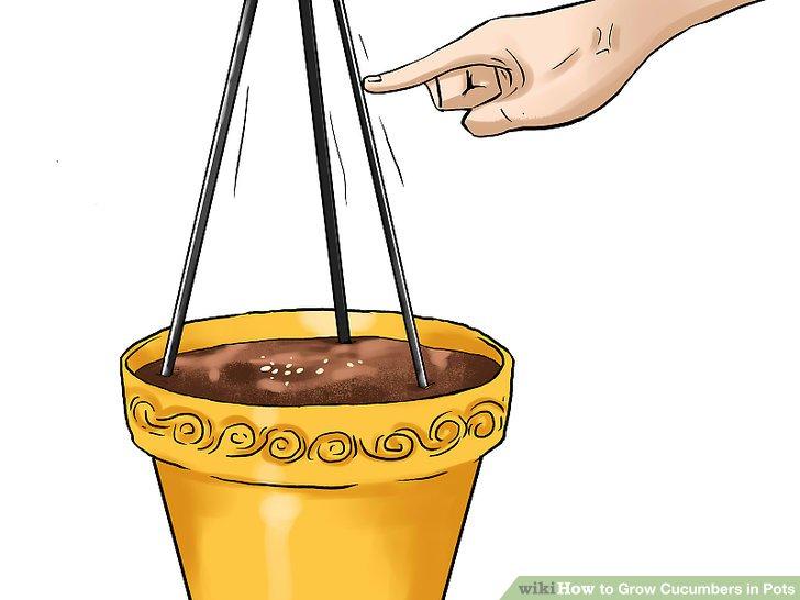 آموزش کاشت خیار در گلدان مرحله 11