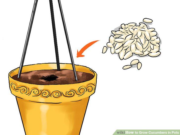 آموزش کاشت خیار در گلدان مرحله 13