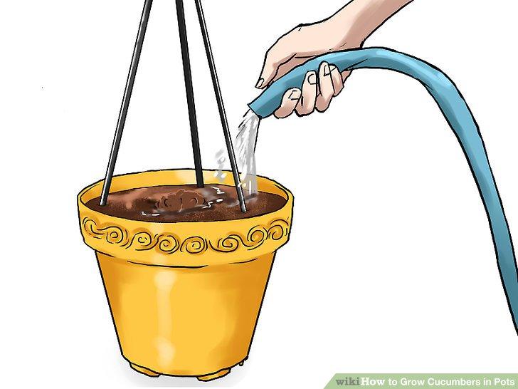 آموزش کاشت خیار در گلدان مرحله 15