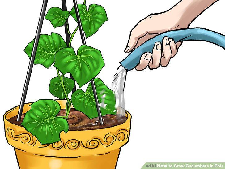 آموزش کاشت خیار در گلدان مرحله 21