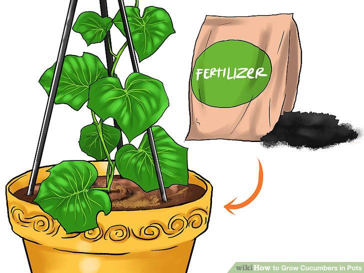 آموزش کاشت خیار در گلدان مرحله 22
