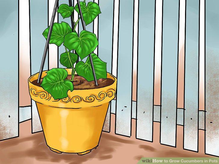 آموزش کاشت خیار در گلدان مرحله 23