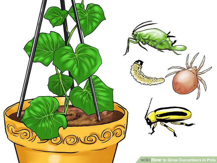 آموزش کاشت خیار در گلدان مرحله 24