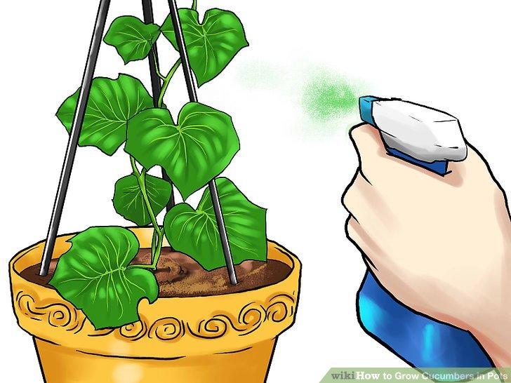 آموزش کاشت خیار در گلدان مرحله 25