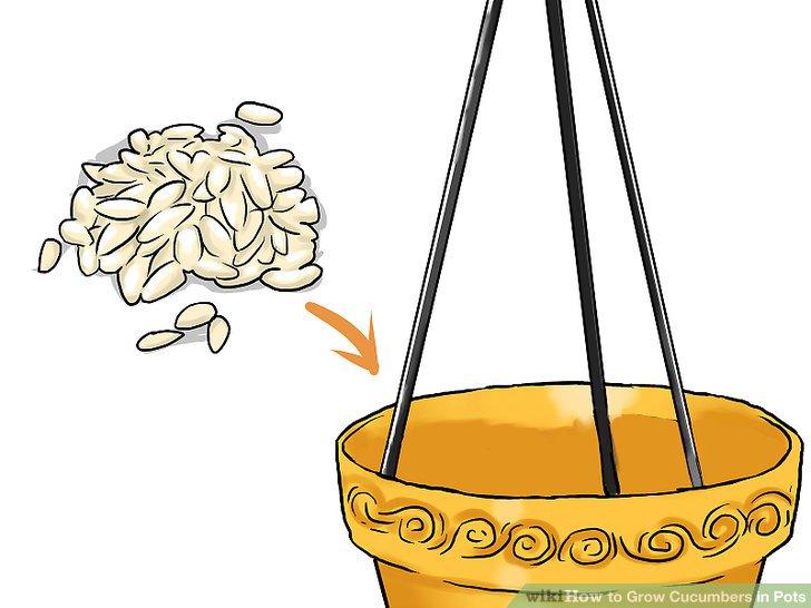 آموزش کاشت خیار در گلدان مرحله 8