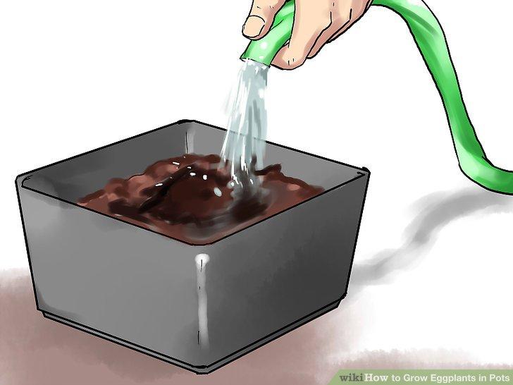 آموزش کاشت بادمجان در گلدان مرحله 13