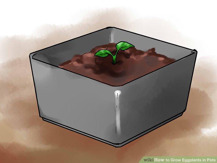 آموزش کاشت بادمجان در گلدان مرحله 14
