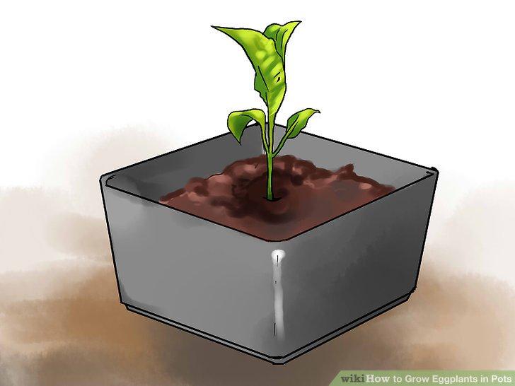 آموزش کاشت بادمجان در گلدان مرحله 15