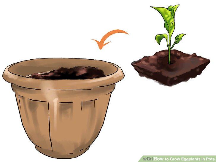 آموزش کاشت بادمجان در گلدان مرحله 19