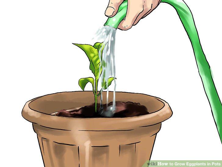آموزش کاشت بادمجان در گلدان مرحله 22