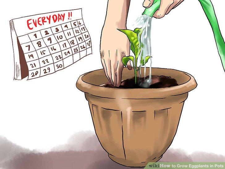 آموزش کاشت بادمجان در گلدان مرحله 24