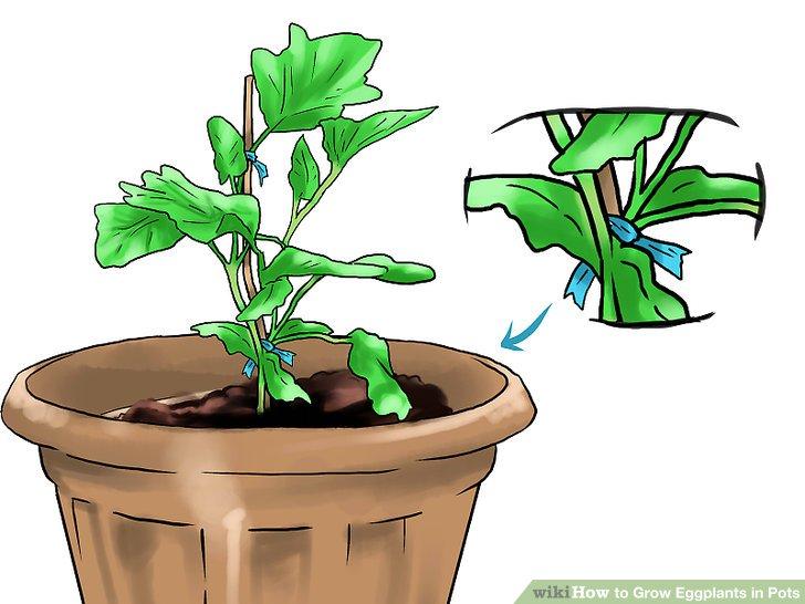 آموزش کاشت بادمجان در گلدان مرحله 27