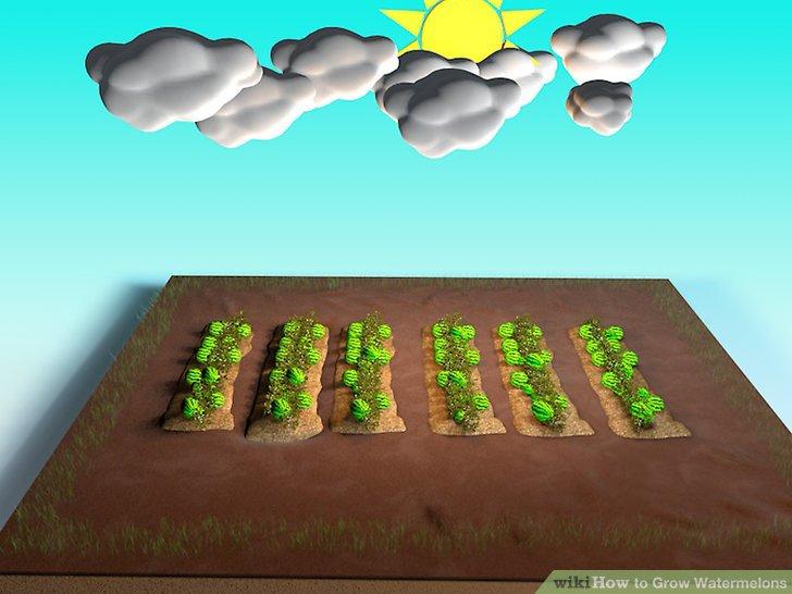 آموزش کاشت هندوانه مرحله 10