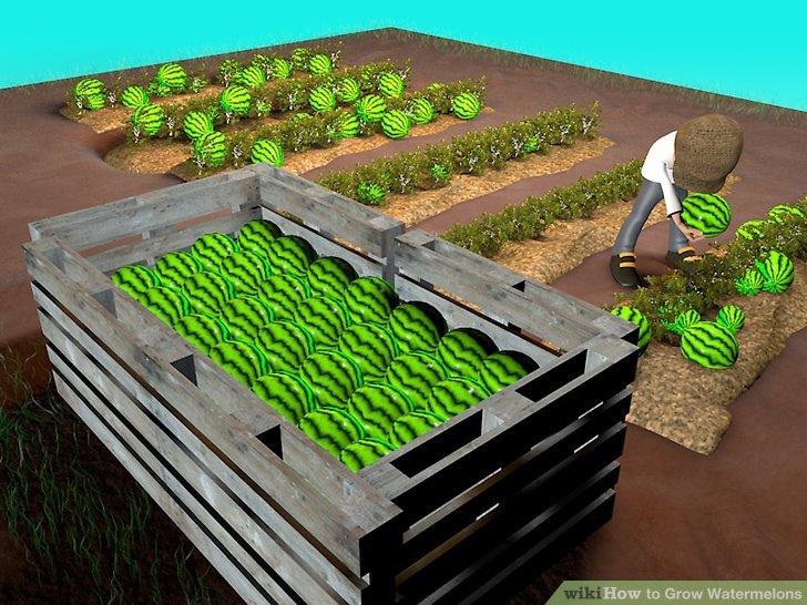 آموزش کاشت هندوانه مرحله 11