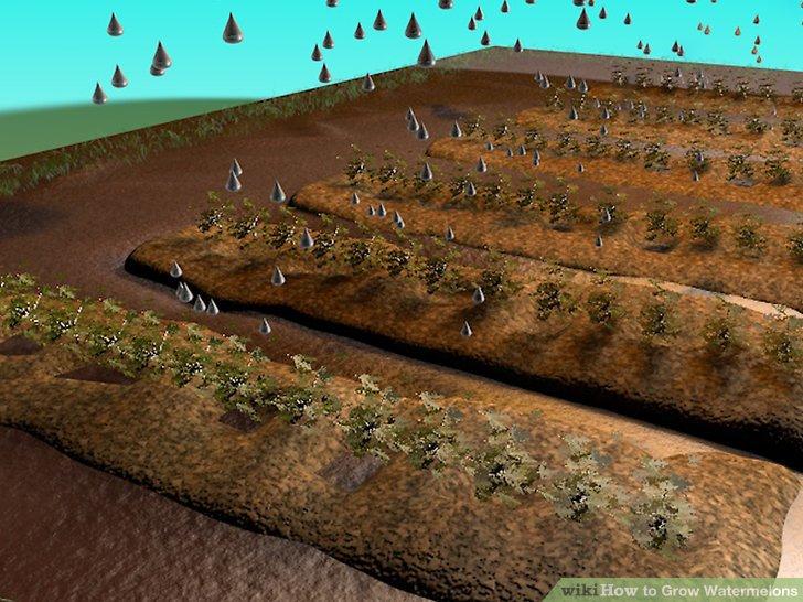 آموزش کاشت هندوانه مرحله 8