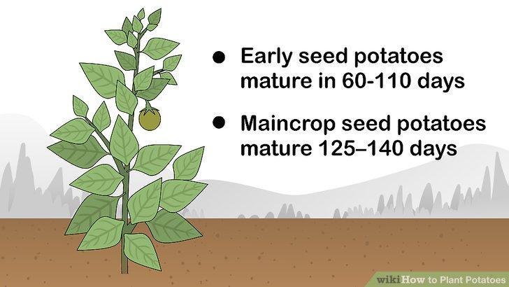 Image titled Plant Potatoes Step 1