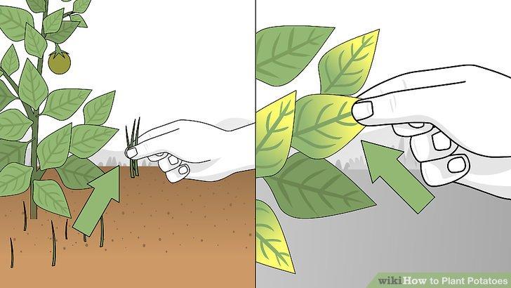 Image titled Plant Potatoes Step 10