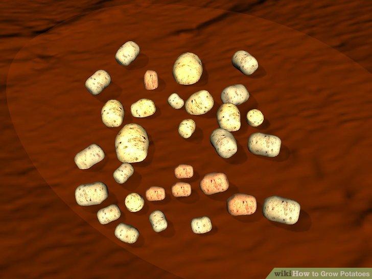 Image titled Grow Potatoes Step 11