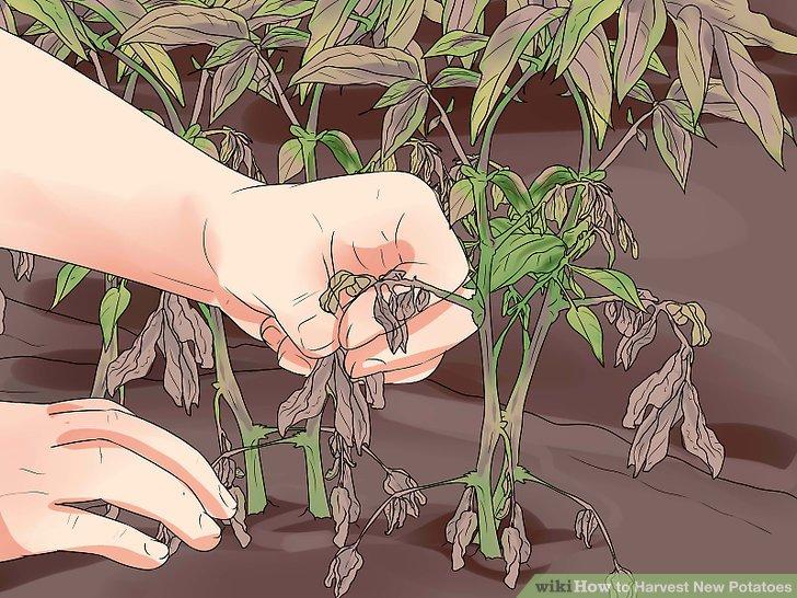 آموزش برداشت سیب زمینی مرحله 1