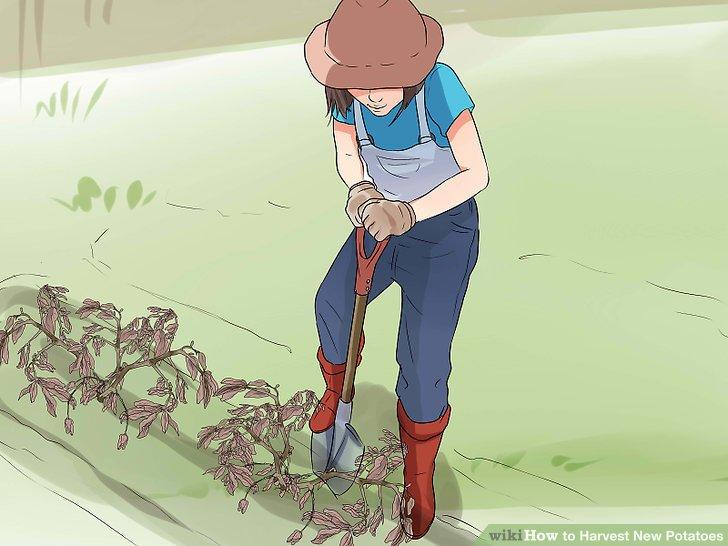 آموزش برداشت سیب زمینی مرحله 5