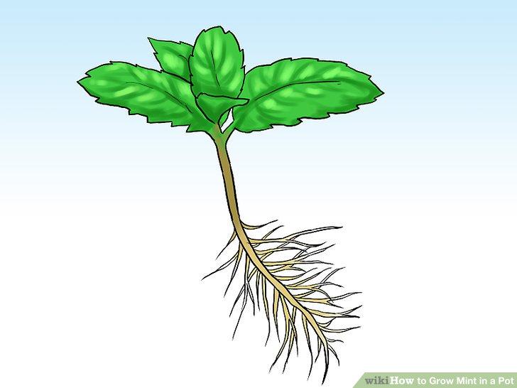 آموزش کاشت نعناع در گلدان مرحله 10