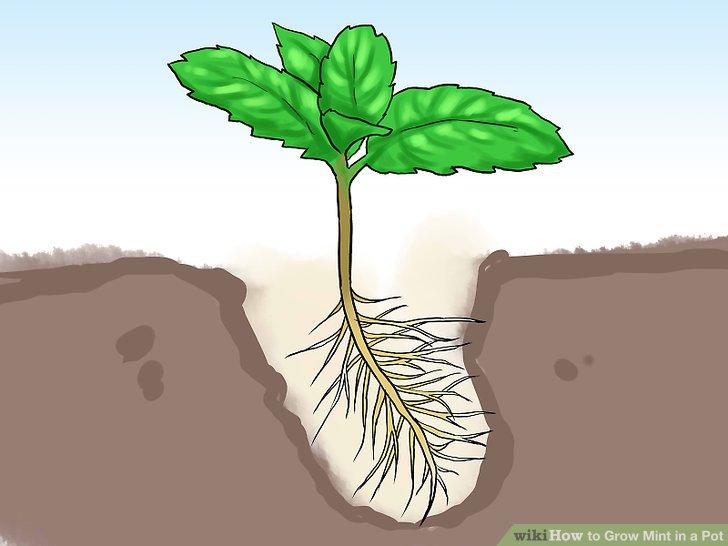 آموزش کاشت نعناع در گلدان مرحله 16