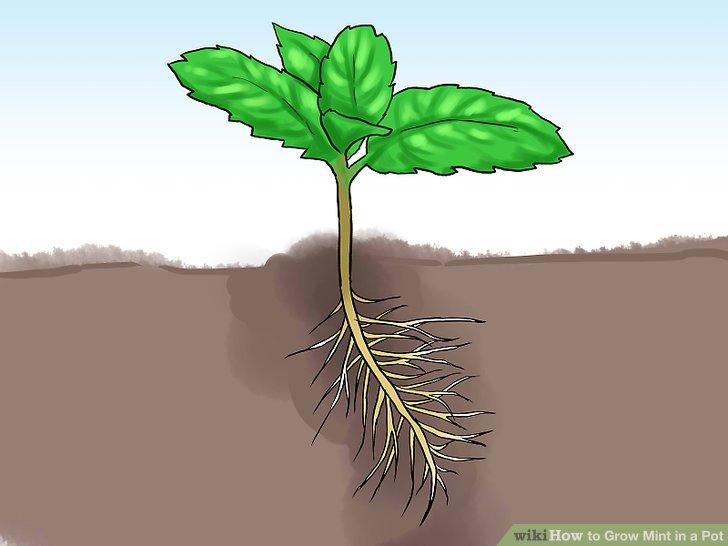 آموزش کاشت نعناع در گلدان مرحله 17