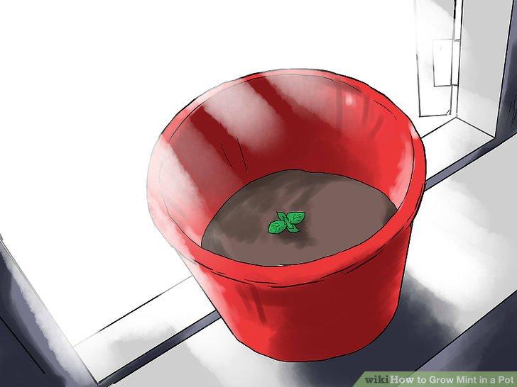 آموزش کاشت نعناع در گلدان مرحله 18