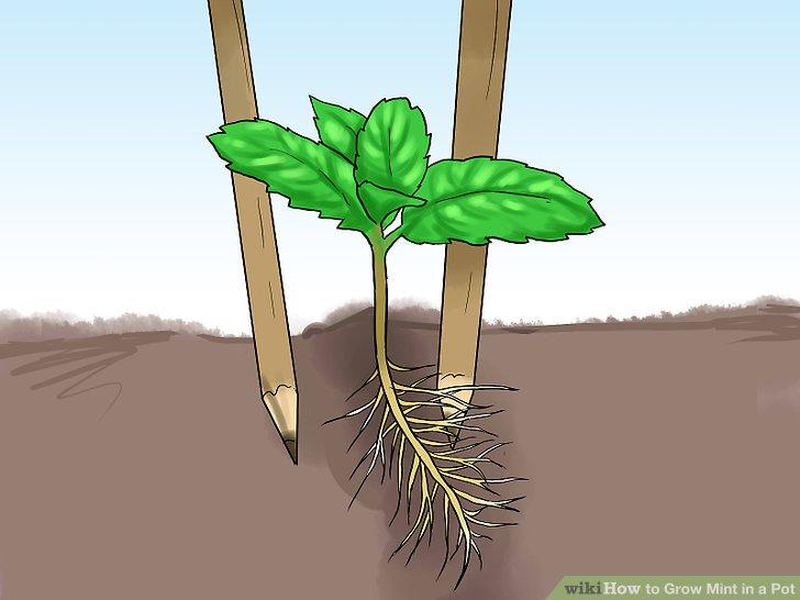 آموزش کاشت نعناع در گلدان مرحله 19