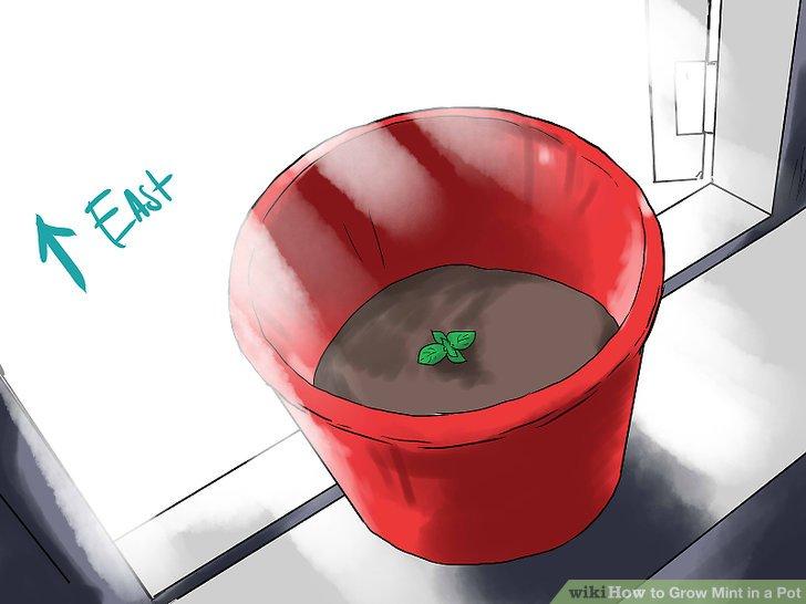 آموزش کاشت نعناع در گلدان مرحله 21