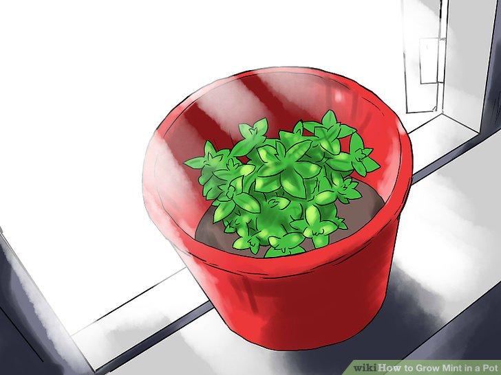 آموزش کاشت نعناع در گلدان مرحله 22