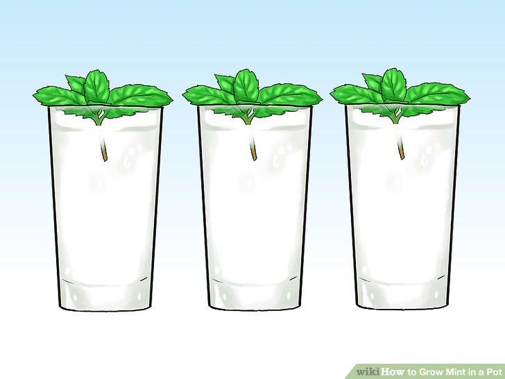 آموزش کاشت نعناع در گلدان مرحله 24