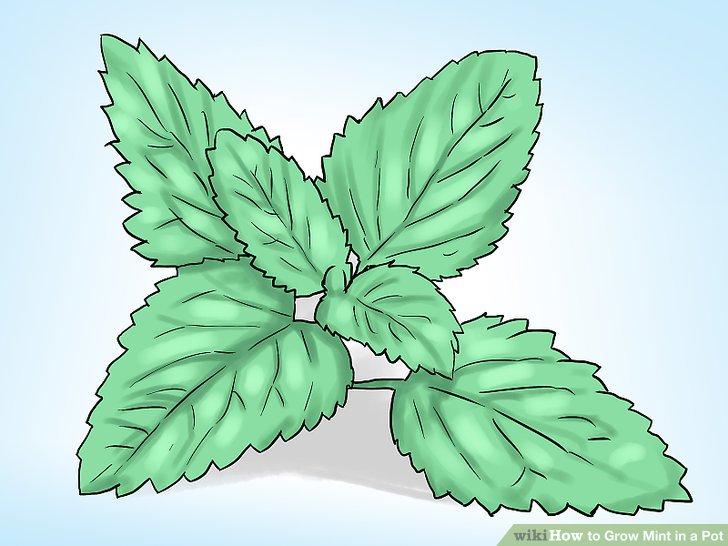 آموزش کاشت نعناع در گلدان مرحله 4