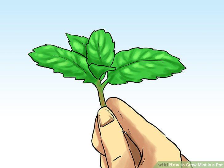آموزش کاشت نعناع در گلدان مرحله 7