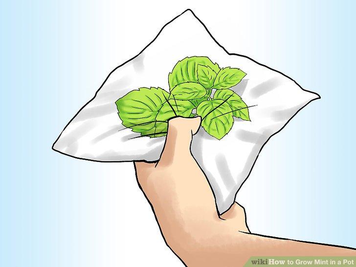 آموزش کاشت نعناع در گلدان مرحله 8