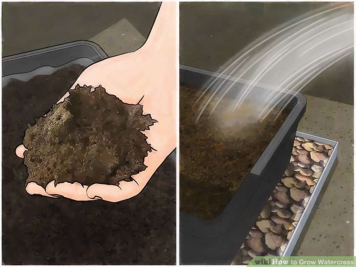 Image titled Grow Watercress Step 4