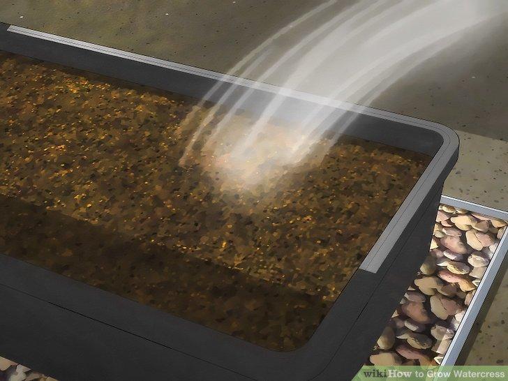 Image titled Grow Watercress Step 6