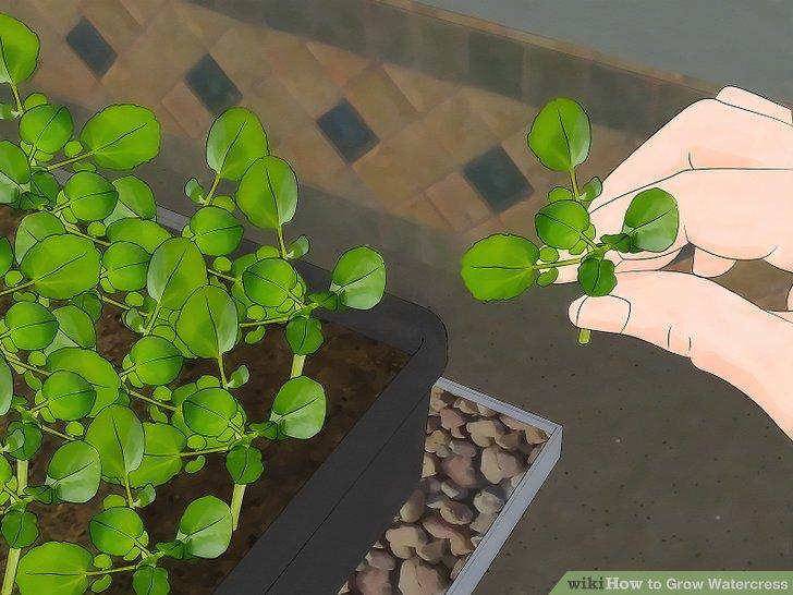 Image titled Grow Watercress Step 9