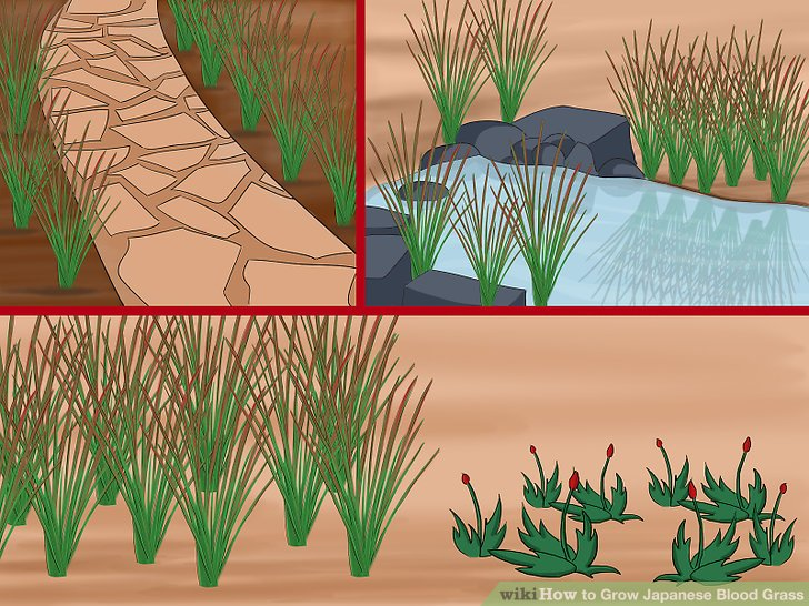 Image titled Grow Japanese Blood Grass Step 3
