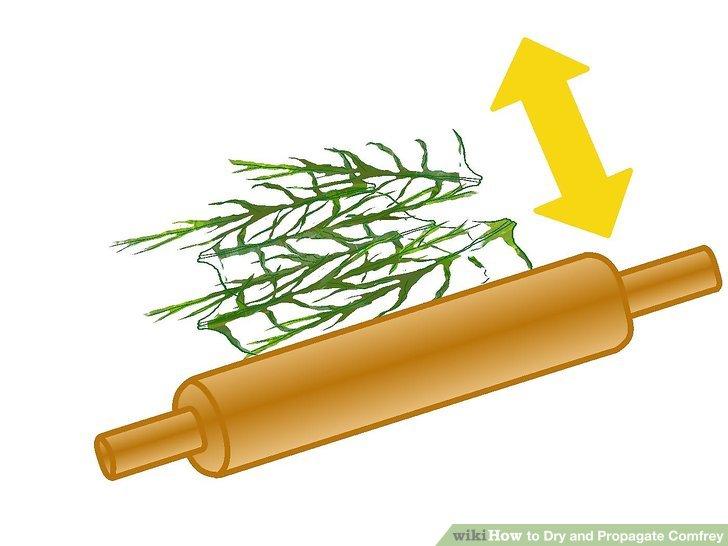 گیاه دارویی کامفری 3